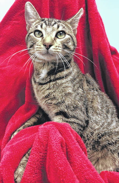 Photo courtesy GCAC Jerry is a domestic short-haired cat with a beautiful brown mackerel coat. He's currently waiting at Greene County Animal Care & Control for visitors in hopes that a new family will take him home for spring.