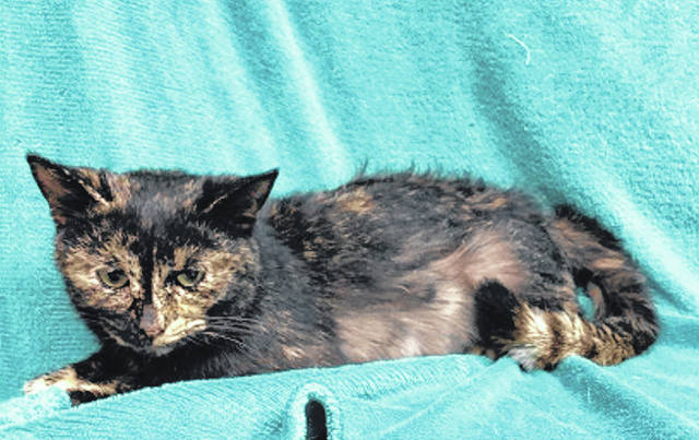 Photo courtesy GCAC Honey is a small tortoiseshell domestic short-haired cat. She's about 2 to 4 years old. Honey has been spayed and vet-checked and can be visited at Greene County Animal Care & Control. This sweet cat is ready to find her new home.