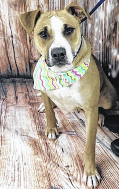 Photo courtesy GCAC Jamaica is a 2 to 3 year old female hound mix with a tan and white coat. This cute pup has been spayed and vet checked and is up for adoption at Greene County Animal Care & Control.