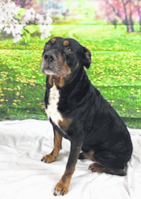 Photo courtesy GCAC Denver is an 8-year-old rottweiler mix. He has a black, brown and white coat and has been neutered and vet-checked. Denver is waiting at Greene County Animal Care & Control for a family or individual to take him home with them.