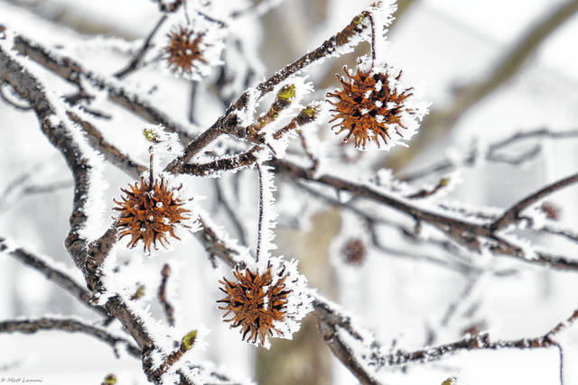"Submitted photos The winning photo in the City of Xenia Tree Committee Winter Tree Photography Contest: ""Waiting on Spring,"" a photo of a Sweet Gum Tree at Shawnee Park taken by Matt Lammi."