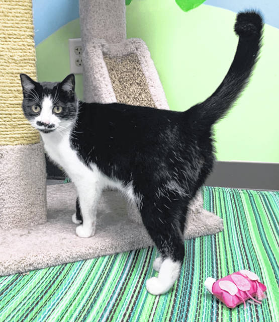Photo courtesy GCAC Jaqen H'Ghar is a 2 year old male domestic short-haired cat with a white and black coat. He is waiting to be adopted at Greene County Animal Care and Control.