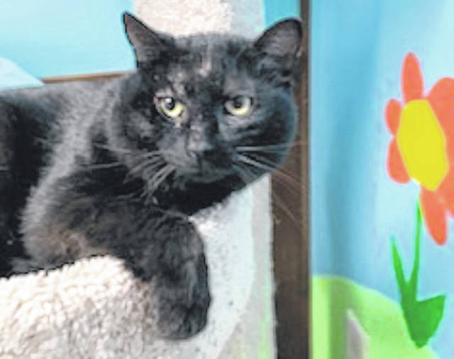 Photo courtesy GCAC Moose is a 2-3 year old domestic short-haired cat. Moose is a black cat who has been neutered and recently vet-checked. Moose is hanging out at Greene County Animal Care & Control while he waits for a new home.