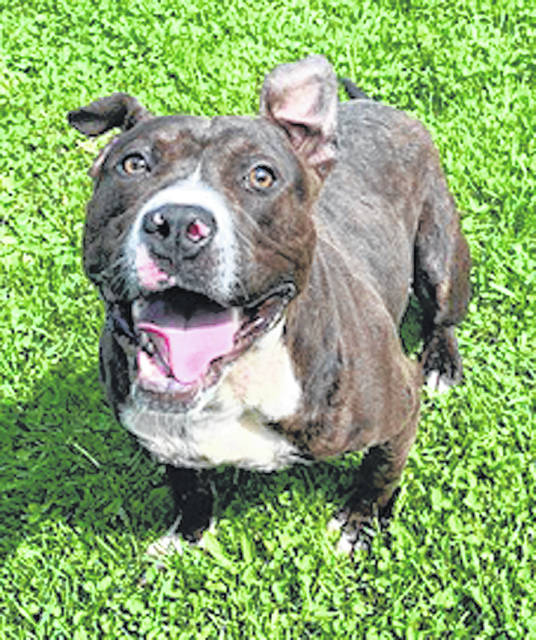 Photo courtesy GCAC Sam is a male pit bull with a brindle white coat. He's about 3 or 4 years old and has been neutered and vet-checked. Sam is playing at Greene County Animal Care & Control until a family adopts him.