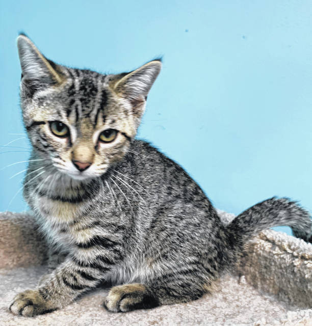 Photo courtesy GCAC Avocado is a 12-14 week-old brown mackerel domestic short-haired kitten up for adoption at Greene County Animal Care & Control. This kitten has been neutered and vet-checked and is looking forward to his future with a new family.
