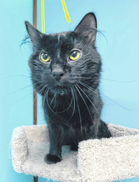 Photo courtesy GCAC Cracker Jack is a 1.5 year old black domestic short-haired cat. He's been neutered and vet-checked. Cracker Jack is hanging out at Greene County Animal Care & Control until he finds a new home.