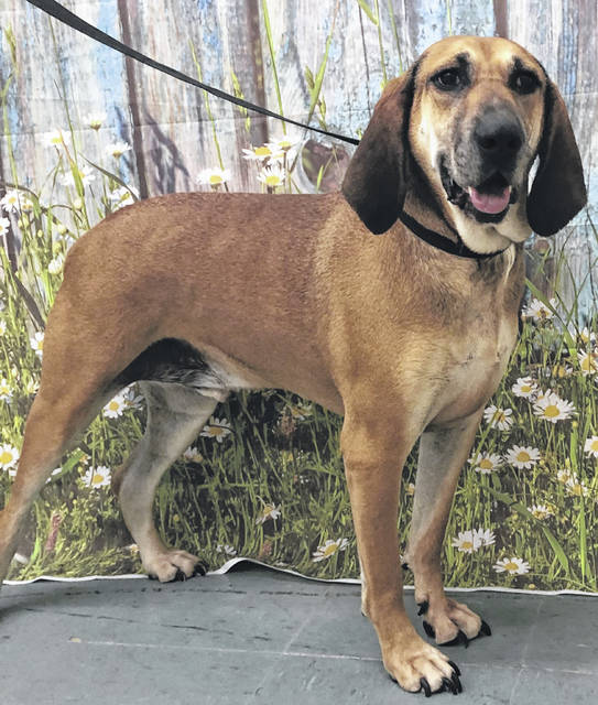 Photo courtesy of GCAC Hank is a 5-year-old tan and black blood hound mix. He's been neutered and vet-checked and is available for adoption at Greene County Animal Care & Control. Hank is ready to go home with a loving family.