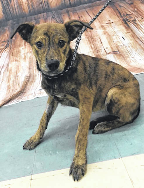 Photo courtesy GCAC Mishka is a female 5-month-old Shepherd mix with a brindle coat. Mishka is adoptable and can be visited at Greene County Animal Care and Control.
