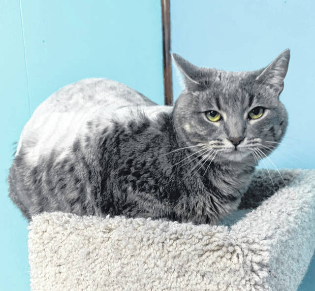 Photo courtesy GCAC Muffins is a female gray domestic short-haired cat. She is ready to be adopted and hanging out at Greene County Animal Care and Control in the meantime.