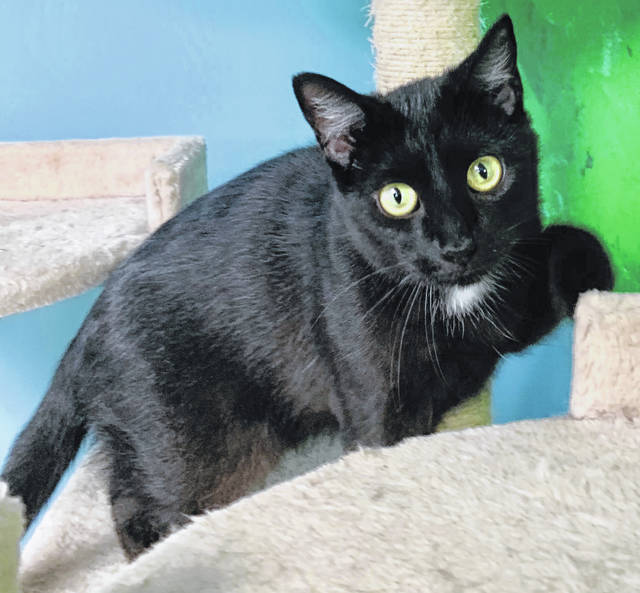 Photo courtesy GCAC Chai is a black and white domestic short-haired cat. She's about 2 to 3 years old. Chai has been spayed and vet-checked and is ready to go home with a loving family or individual.
