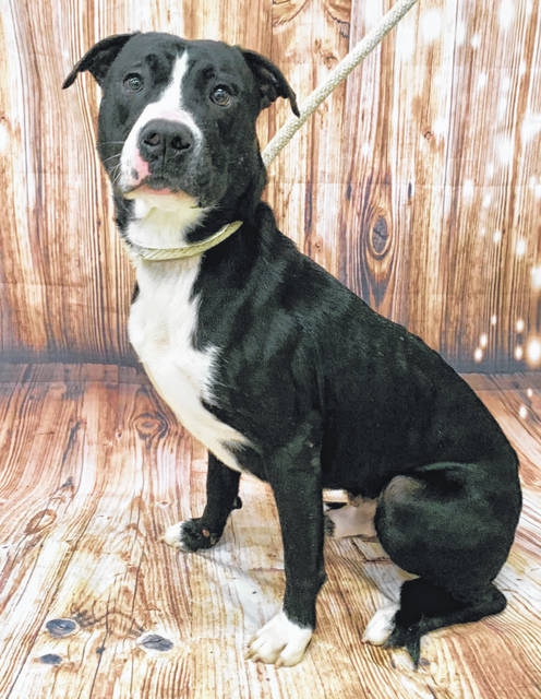 Photo courtesy GCAC Josey is a male pit bull with a black and white coat. He's about 4 years old. Josey has been neutered and vet-checked and is ready for adoption.