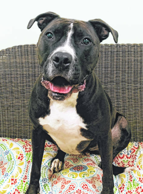 Photo courtesy GCAC Bones, about 2 to 4 years old, is ready to find a new home this Halloween season. Bones is a male pit bull with a black and white breed. He's been neutered and vet-checked and is now adoptable.