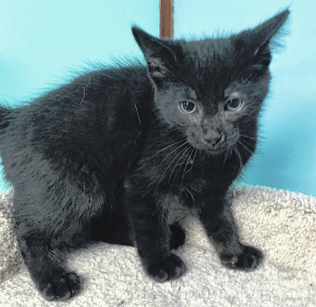 Photo courtesy GCAC Curly is a male domestic medium-haired kitten. He's about 9-10 weeks with a black coat. Curly has been neutered and vet-checked. This kitten is ready to go home with a loving family.