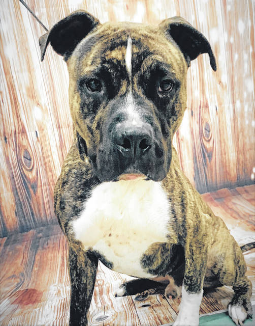 Photo courtesy GCAC Jefferson is a male pit bull, about 4-6 years old with a brindle coat. Jefferson has been neutered and vet-checked. All he needs now is a loving owner and new home.