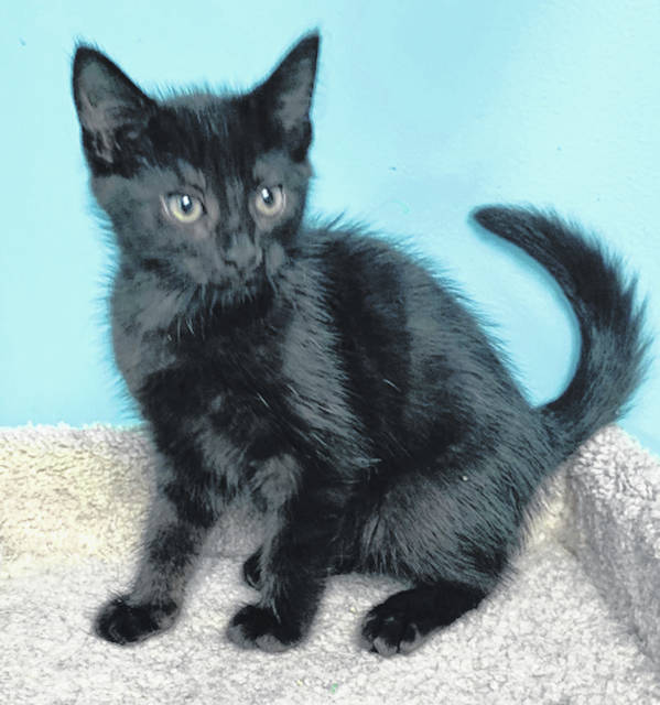 Photo courtesy GCAC Larry, perfect this Halloween, is a black and white domestic medium-haired cat. He's about 9 to 10 weeks old and has been neutered and vet-checked. Larry is ready for a loving family to adopt him from Greene County Animal Care & Control.