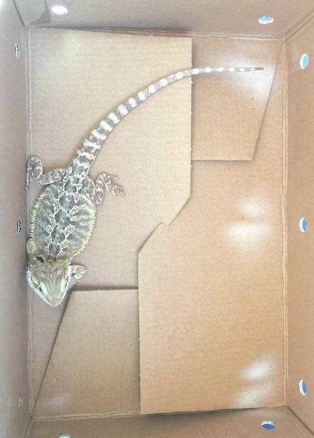 Whitney Vickers | Greene County News Bubbles the bearded dragon the day we brought him home.