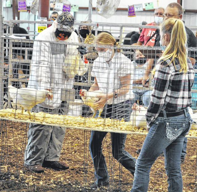 Photos by Scott Halasz | Greene County News A 4-H member grabs her chicken out of the cage while the judge evaluates another one during the market chicken show Wednesday at the Greene County Fair.