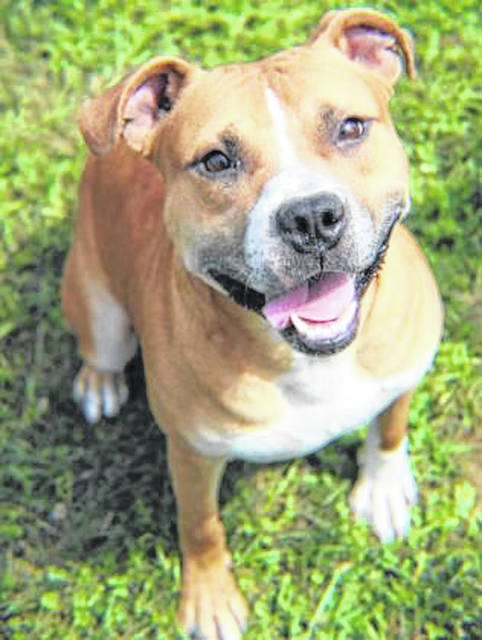 Photo courtesy GCAC Finn is a 2 year old American Pit Bull Terrier. He weighs 50 pounds and has a butterscotch and white coat. Finn is looking for a new home. If interested, visit co.greene.oh.us — Departments — Animal Control — Adoptions — Dog Adoptions and submit an application for a meet and greet.