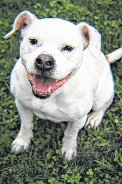Photo courtesy GCAC Ike is a 48 pound white and brown terrier/American Staffordshire who is the resident goofball. He is a happy-go-lucky, all-around sweet boy. All you need are treats. Ike is looking for an owner who will love him for life. If interested in adopting Ike, visit co.greene.oh.us — Departments — Animal Control — Adoptions — Dog Adoptions and submit an application for a meet and greet.