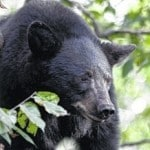 Bear sighted in Marshall