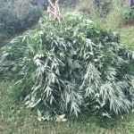 Barrera: 1,000 marijuana plants seized