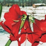 An unusual amaryllis