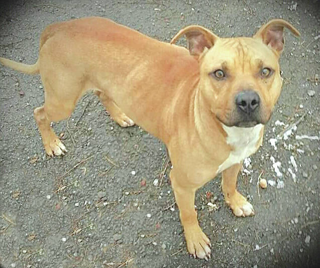 Houdini, a 1.5-year-old neutered male pitbull, is the Highland County Humane Society Pet of the Week. The society said he was abandoned by his owner along with two other dogs and was very skinny. He is healthy now, good natured, almost never barks and does not jump on people. The shelter manager said no dogs should not be left outside in extreme cold weather unless they have proper shelter and food.