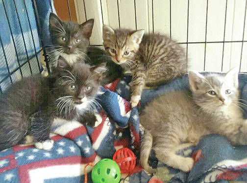The Highland County Humane Society Animal Shelter Pets of the Week are several kittens. This is the time of the year when there are plenty of kittens up for adoption. The shelter has several litters. If you could give any of these kittens, or their mothers, a good forever home or any of the dogs, contact the Humane Society at 9331 SR 124, P.O. Box 471, Hillsboro, or call the shelter at 937-393-2110. The shelter is open Tuesday to Saturday from noon to 5 p.m. and is closed Sunday and Monday. The shelter is now accepting donations for its yearly yard sale to be held on July 7. Bring any donations except clothing to the shelter.