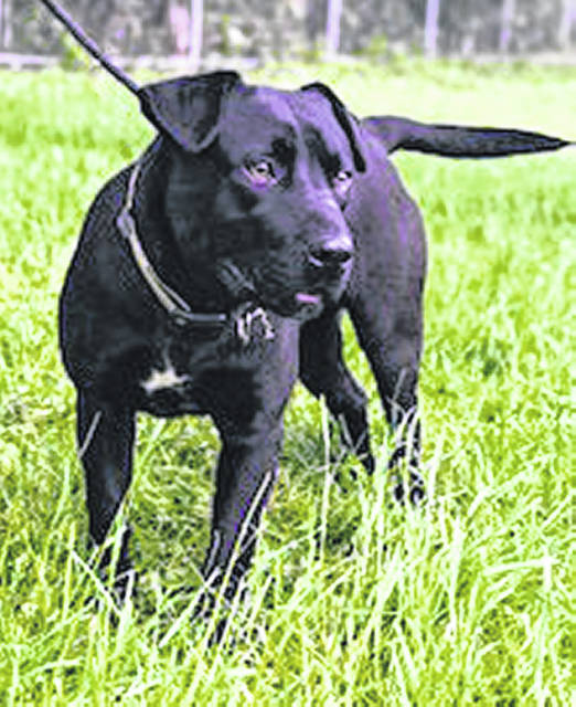 Syd is the Highland County Humane Society Pet of the Week. He was brought to the Humane Society Shelter when the Highland County Dog Pound reached maximum capacity. He was identified as a stray, so much of his history is unknown. Syd is believed to be a labrador and bassett hound mix and is approximately a year and a half old. He is very playful and enjoys the company of other dogs. Syd is up to date on his vaccinations and will be neutered prior to adoption. If you are interested in adopting Syd, visit the Humane Society from noon to 5 p.m. Tuesday through Saturday.