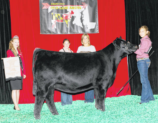 Henning Blackcap 8060 won the Owned Reserve Intermediate Champion Heifer at the 2019 Eastern Regional Junior Angus Show, June 20-23 in Timonium, Md. Sydney Sanders, Leesburg, owns the winning heifer.