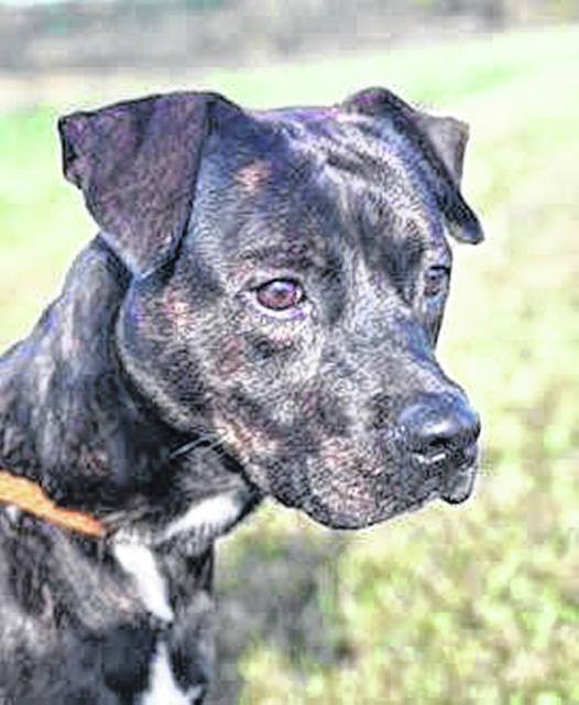This week's Highland County Dog Pound Pet of the Week is Terry, a young, medium-sized pit bull. The dog pound estimates he's between 1 and 2 years old, and he weighs around 40 pounds. He is up-to-date on his vaccinations. Terry may look serious, but don't let him fool you — he's a real love bug. Terry is still a bit rambunctious, but he really likes to be close to people and seems very smart. He isn't comfortable around other dogs and does bark at them. He should be in a one-dog situation where he is the one dog getting treats and attention. He would enjoy being a lap dog for sure. Anyone interested in adopting Terry or any of the dogs at the Highland County Dog Pound should contact the dog warden at 937-393-8191 to set up a time to visit. The Highland County Dog Pound is located at 9357 SR 124 east of Hillsboro.