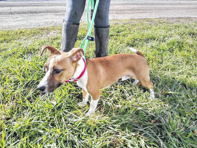 This week's Highland County Dog Pound Pet of the Week is Percy, a natural redhead with a nose for news and a little ray of sunshine. He has beautiful beagle coat and the curiosity of a terrier. Percy has good manners and social skills, and he's a great listener, which will make him a perfect best friend. Call the Highland County Dog Pound at 937-393-8191 to make an appointment to meet Percy or any of the other good dogs looking for a home. The Highland County Dog Pound is located at 9357 SR 124 east of Hillsboro.