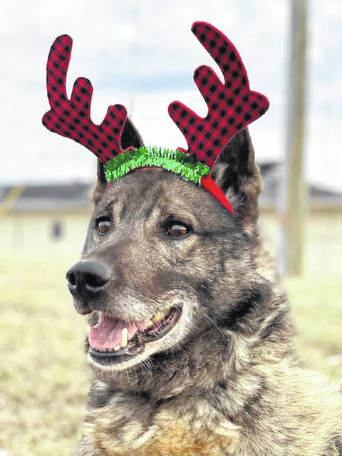 This week's Highland County Dog Pound Pet of the Week is Rocky, a Norwegian Elkhound. Rocky is a young, regal, handsome boy with a thick, beautiful coat. He was found as a stray but is well-nourished. He weighs around 45 to 50 lbs. Rocky is calm and gentle, and he seems to be comfortable with everyone he meets. To see Rocky or any of the dogs at the Highland County Dog Pound, call the dog warden at 937-393-8191 to make an appointment. The Highland County Dog Pound is located at 9357 SR 124 east of Hillsboro.