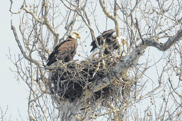Eagle nests like the one in this picture provided by the Ohio Department of Natural Resources can be viewed in and around Highland County, according to Rocky Fork State Park Natural Resources Officer Adam Somerville.