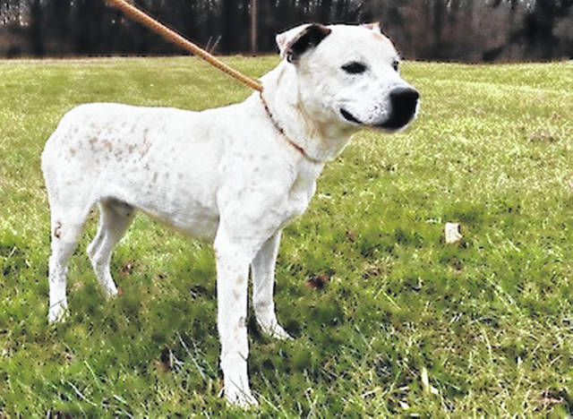 This week's Highland County Dog Pound Pet of the Week is Bruno, a 2-year-old with a mixed family heritage. Bruno is a tall but skinny guy. Bruno is gentle and friendly, and he walks comfortably on a leash. To meet Bruno or any of the other dogs at the Highland County Dog Pound, call 937-393-8191 to make an appointment with the dog warden. The Highland County Dog Pound is located at 9357 SR 124 east of Hillsboro.