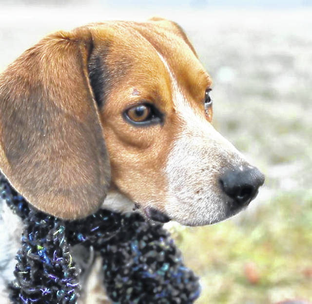 This week's Highland County Dog Pound Pet of the Week is Charlie, 2-year-old beagle. The world has not been particularly kind to Charlie, though he's learning it can be a better place. Charlie would do best in a home where he's the only pet. Charlie weighs about 20 pounds, and he's up-to-date on his vaccinations. He is one of two beagles currently at the pound. He has a lot of love to give to someone who would like a friend forever, so to meet Charlie or any of the dogs at the Highland County Dog Pound. Call 937-393-8191 to make an appointment with the dog warden. The Highland County Dog Pound is located at 9357 SR 124 east of Hillsboro.