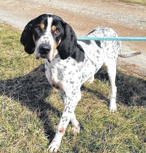 This week's Highland County Dog Pound Pet of the Week is Dyno, a hound with a big heart and soft, silky ears. Dyno is friendly and enjoys exploring the outdoors with a companion. He gets along with other dogs. Dyno weighs about 60 pounds. To meet Dyno or any of the dogs at the Highland County Dog Pound, call 937-393-8191 to make an appointment with the dog warden. The Highland County Dog Pound is located at 9357 SR 124 east of Hillsboro.