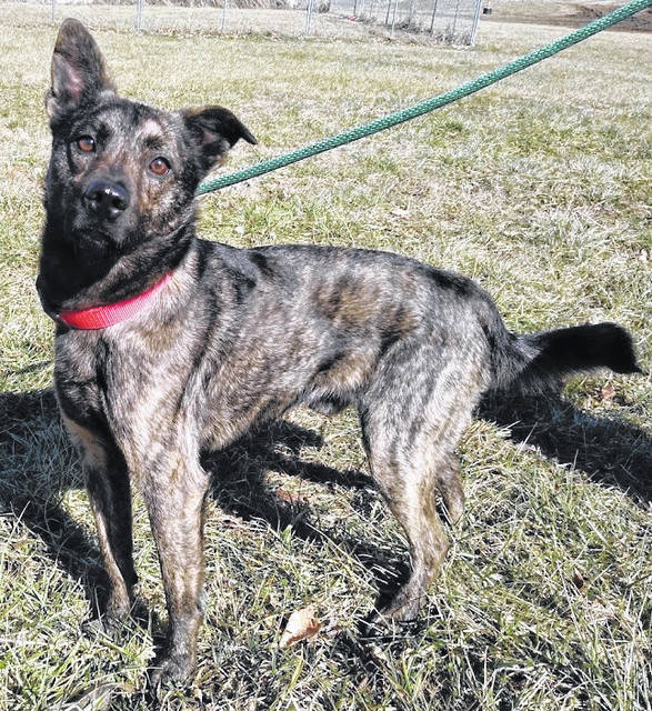 This week's Highland County Dog Pound Pet of the Week is Deegan, a sweet, friendly mixed-breed. Less than a year old and about 35 pounds, he has a surprisingly soft brindle coat and loves belly rubs. To meet Deegan or any of the dogs at the Highland County Dog Pound, call 937-393-8191 to make an appointment with the dog warden. The Highland County Dog Pound is located at 9357 SR 124 east of Hillsboro.