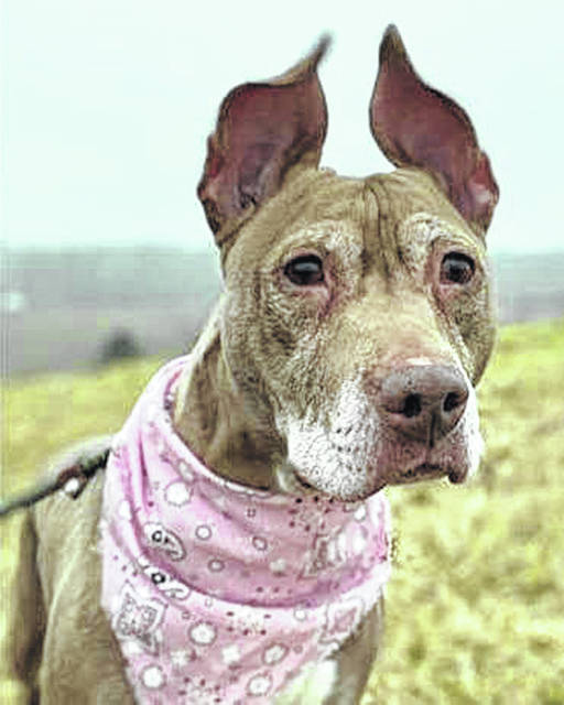 This week's Highland County Dog Pound Pet of the Week is Sheba, an older dog with mixed heritage and a wonderful personality to go with her wonderful ears. She may be middle-aged, but Sheba's still perky. She's a very sweet girl who walks well on a leash and doesn't jump. She loves being petted. Sheba was found in a kennel after her owners moved out, and she'd love to meet her special Valentine. To meet Sheba or any of the dogs at the pound, call the dog warden at 937-393-8191. The Highland County Dog Pound is located at 9357 SR 124 east of Hillsboro.