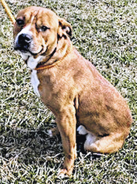 The Highland County Dog Pound Pet of the Week is Chevy, a 2-year-old, male, mixed-breed dog weighing 55 pounds. Very sweet, but a little anxious over his situation, he would do best for now in an all-adult home. To make an appointment to meet this good boy, call the dog warden at 937-393-8191. The Highland County Dog Pound is located at 9357 SR 124 east of Hillsboro.