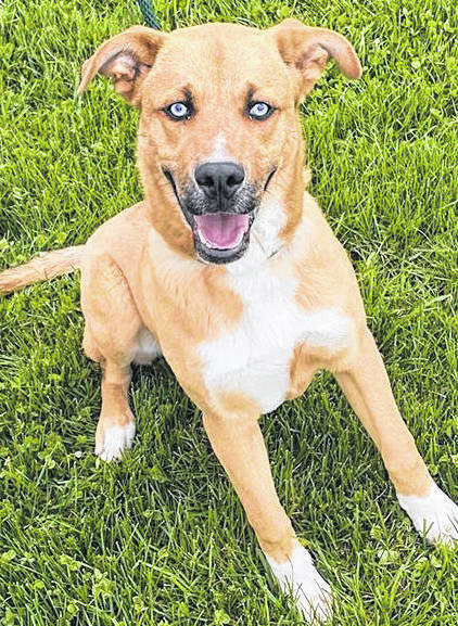 This week's Highland County Dog Pound Pet of the Week is Cohen, a young mixed-breed dog with a big smile and ice-blue eyes. He's a little timid, but with love and patience, Cohen will be the ideal shelter-in-place buddy. The Friends of the Highland County Dog Pound estimated that Cohen is around 10 months old. He weighs around 60 pounds. To meet Cohen or any of the dogs at the Highland County Dog Pound, call the dog warden at 937-393-8191 to schedule an appointment. The Highland County Dog Pound is located at 9357 SR 124 east of Hillsboro.