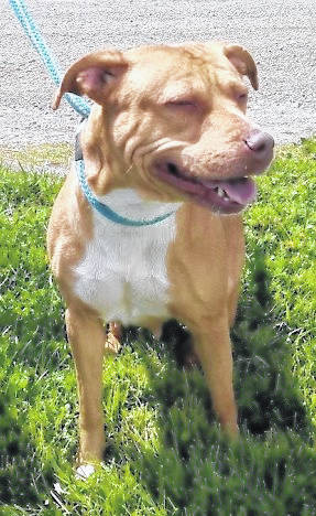 This week's Highland County Dog Pound Pet of the Week is Honey, a mixed-breed girl with a sweet-as-honey personality. Cool, calm and collected, Honey gets along with just about everybody she meets — humans or dogs. She's easy-going and happy to go with the flow, walk or run, sit or stay. Honey is always glad to make a new friend, but would love to find her forever home. She's around 2 to 3 years old and weighs approximately 45 pounds. To meet Honey or any of the dogs at the Highland County Dog Pound, call the dog warden at 937-393-8191 to make an appointment. The Highland County Dog Pound is located at 9357 SR 124 east of Hillsboro.