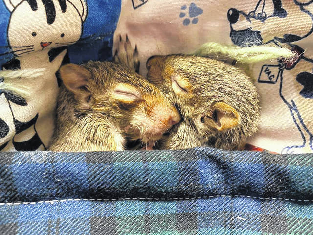 Tucked beneath a blanket, two of the three squirrels rescued by Hillsboro Veterinary Hospital Manager Amy Sharp-Schneider enjoy a snooze.