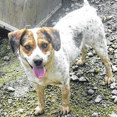 "This week's A 2nd Chance Pet Adoptions Pet of the Week is Lyrick, a young blue heeler/collie mix. Lyrick is playful and adores people and attention. When he first came to A 2nd Chance, Lyrick was quickly adopted. He returned to A 2nd Chance after his owners were no longer able to care for him, and he doesn't quite understand why he's not with his family anymore. Lyrick is neutered and up-to-date on his vaccinations. To meet Lyrick or any of the dogs at A 2nd Chance Pet Adoptions, call 937-764-0406 or email mjespelage@yahoo.com. All the dogs available for adoption at A 2nd Chance can be found on Petfinder and AdoptAPet as well as the ""A 2nd Chance pet adoptions"" Facebook page."
