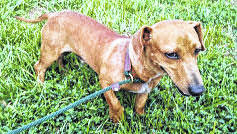 This week's Highland County Dog Pound Pet of the Week is Herbie, a 2-year-old dachshund. Herbie was surrendered by his owner and is a bit baffled by his new situation, but he's hoping for a new family soon. Herbie is a natural redhead with strawberry blonde highlights. He weighs about 12 pounds. To meet Herbie or any of the other dogs at the Highland County Dog Pound, call the dog warden at 937-393-8191 to make an appointment. The Highland County Dog Pound is located at 9357 SR 124 east of Hillsboro.