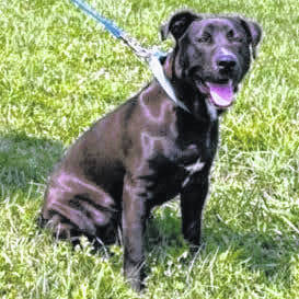 This week's Highland County Dog Pound Pet of the Week is Fred is a polite young fella. At 8 months old, Fred is a medium-sized, 55-pound, mixed breed who is looking for new friends and a family. Fred has a short, shiny, low maintenance coat and an inquiring mind to go with his nice manners. To meet Fred or any of the other dogs at the Highland County Dog Pound, call the dog warden at 937-393- 8191 to make an appointment. The Highland County Dog Pound is located at 9357 SR 124 east of Hillsboro.