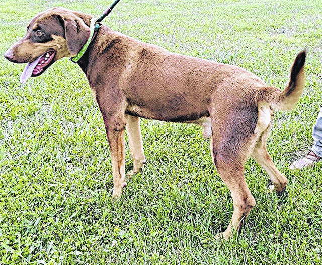 This week's Highland County Dog Pound Pet of the Week is Dobbie, a mixed-breed, maybe-Doberman, sturdy, medium-sized dog. Dobbie weighs about 55 pounds and is 1 to 2 years old. He is a happy, friendly dog who is ready for companionship, long walks anywhere and a house to call home. To meet Dobbie, make an appointment with the dog warden by calling 937-840-9222. The Highland County Dog Pound is located at 9357 SR 124 east of Hillsboro.
