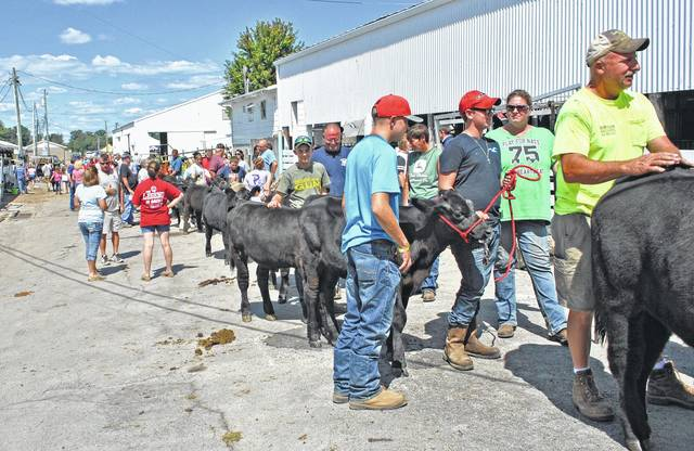 In this scene from the 2016 Highland County Fair, participants wait in line between the livestock barns and show arena to weigh-in their feeders calves.