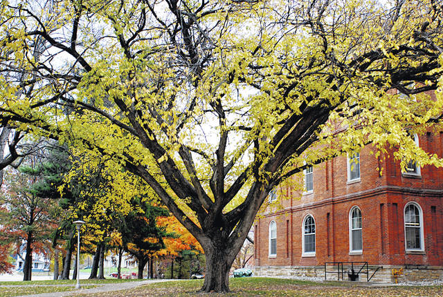 This is the Logan elm located on the campus of Wilmington College.