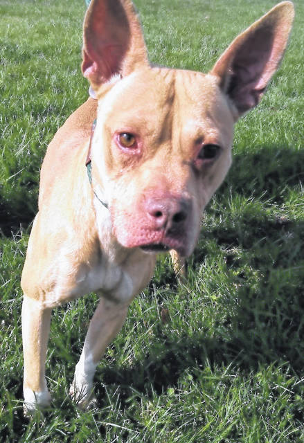 This week's Highland County Dog Pound Pet of the Week is King, a medium-sized, gold-tone, mixed breed who loves treats and companionship. King has very expressive ears and a sweet disposition. He would be very happy to meet you. King is around 1 year old and weighs 38 pounds. To meet King or any of the dogs at the Highland County Dog Pound, call the dog warden at 937-393-8191 to make an appointment. The dog pound will be closed until Nov. 23. The Highland County Dog Pound is located at 9357 SR 124 east of Hillsboro.